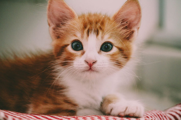 photo de chaton roux et blanc aux yeux verts cute white and red baby cat kitten