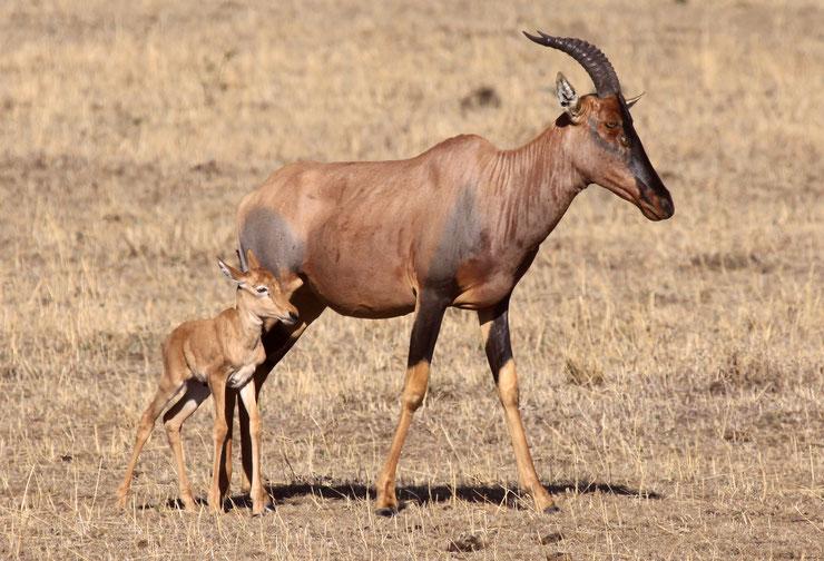 topi fiche animaux afrique