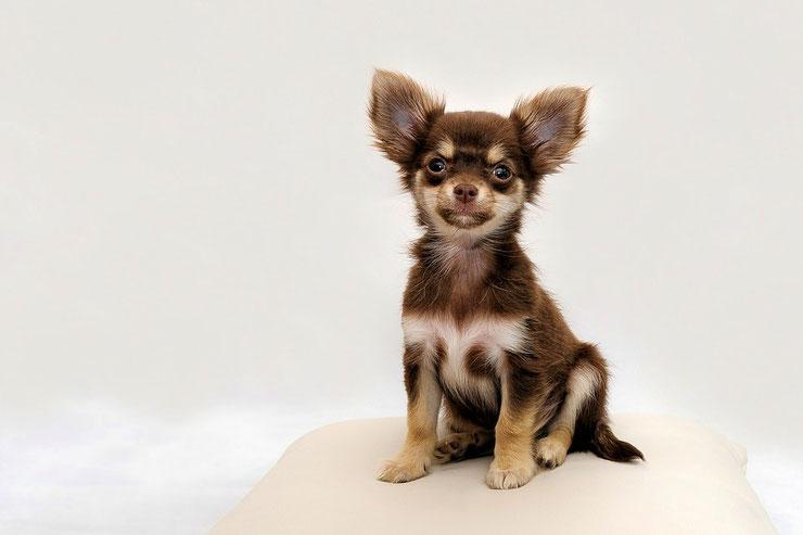 chihuahua fiche chien animaux mignon caractere origine comportement race poil