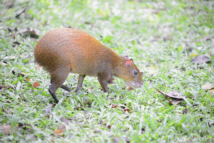 liste des animaux d'amazonie agouti ponctué