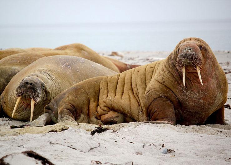 les animaux de la banquise et des cercles polaires pole sud nord arctique antarctique morse