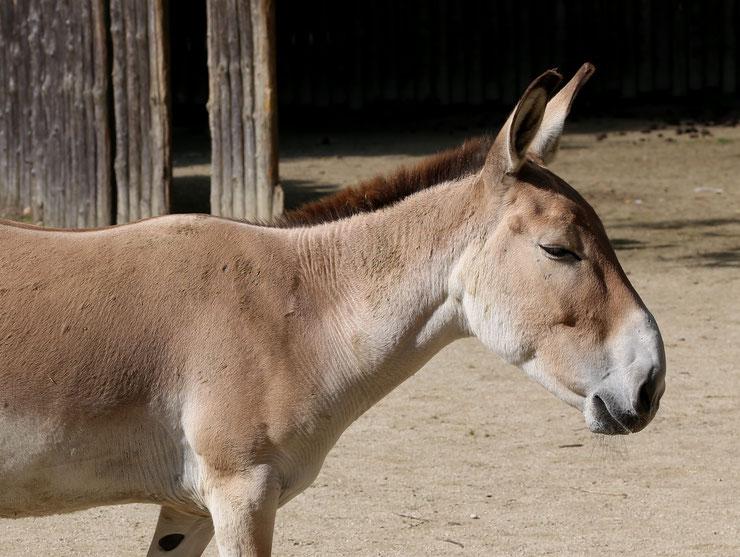 fiche animaux ane asie hemione Equus hemionus