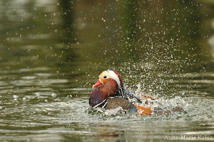 mandarin duck fact birds