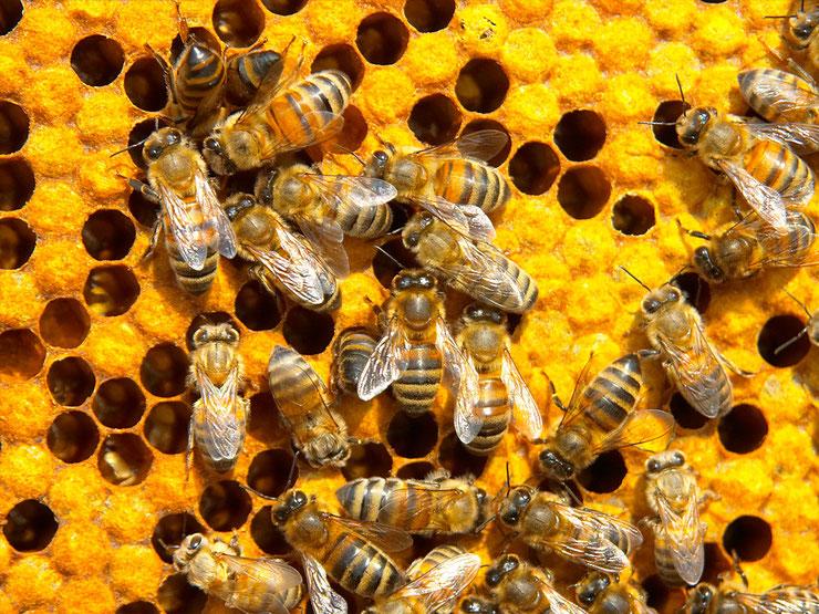 abeilles extinction fin monde humanite vie survie biodiversite pollinisation terre apiculture