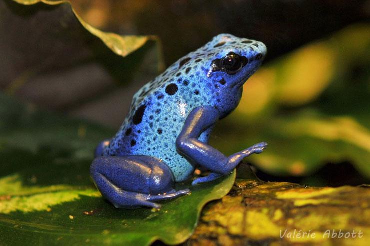 liste des animaux d'amazonie dendrobate bleue