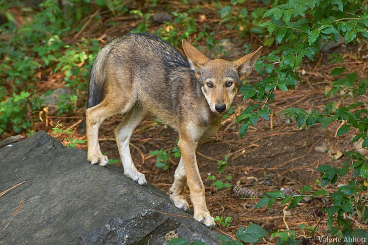 loup rouge juvenile louveteaux fiche animaux animal fact young red wolf