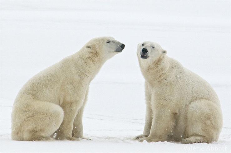 les animaux de la banquise et des cercles polaires pole sud nord arctique antarctique ours blanc polaire