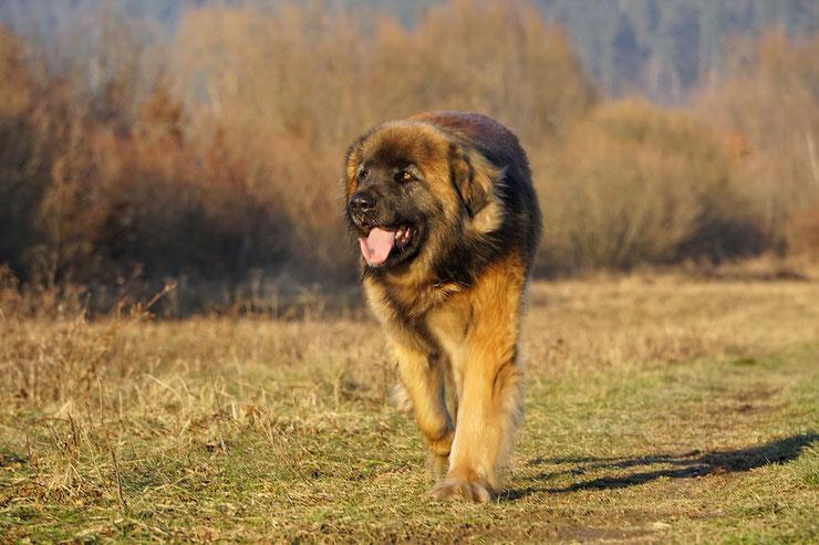 leonberg fiche chien animaux caractere comportement origine poil couleur