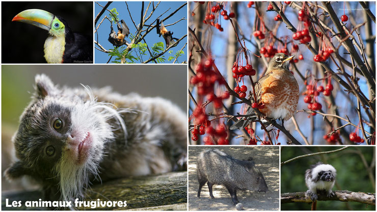 animaux frugivores