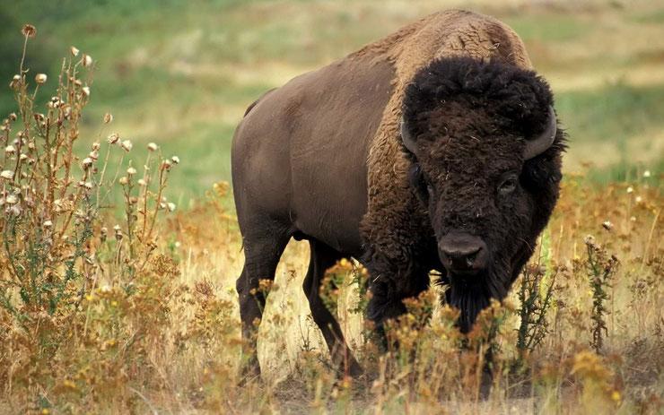 bison amerique fiche animaux canada yellowstone mammifere bovides