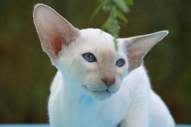 oriental fiche animaux chat
