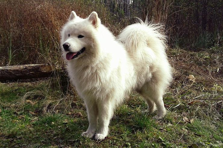 samoyede fiche chien animaux caractere comportement origine poil couleur