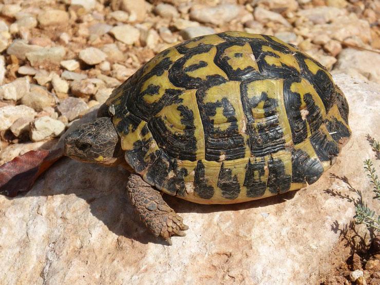 tortue de terre mediterranenne ces animaux qui hibernent hibernation
