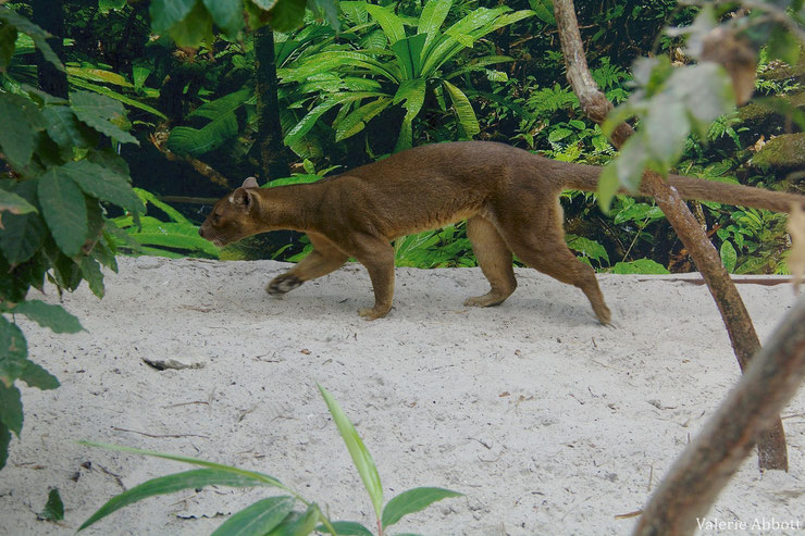 fossa fiche animaux en danger voie de disparition madagascar animal fact