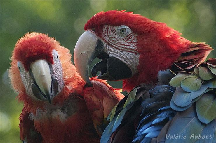 liste des animaux d'amazonie ara rouge