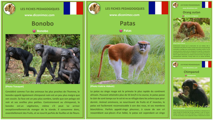 fiches animaux singe primates à telecharger et a imprimer pdf download animal fact bonobo patas chimpanze orang outan orangutan