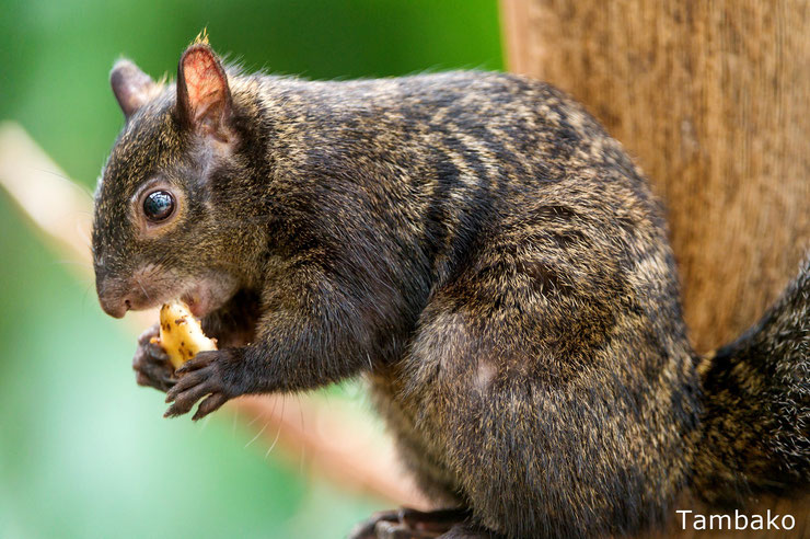 ecureuil du yucatan fiche animaux mammiferes poids taille comportement longévité habitat repartition