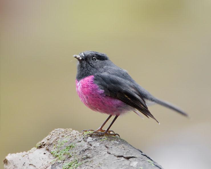 miro incarnat fiche oiseaux animaux