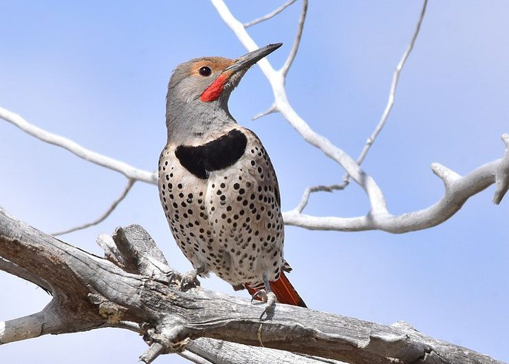 pic flamboyant fiche animaux oiseaux animal facts bird northern flicker)