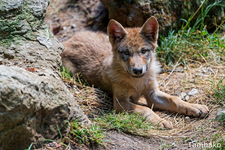 bebe loup animaux mignons cute animals baby wolf louveteau