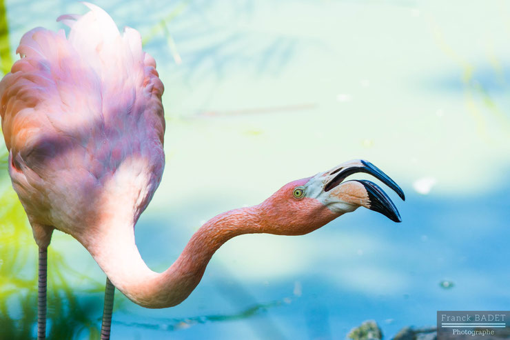 flamant rose franck badet photographe lyon tarare villefranche pink flamingo birds