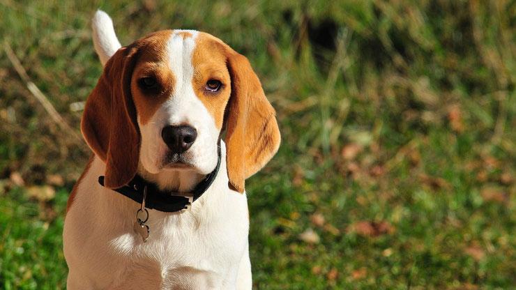 beagle fiche chien animaux caractere comportement origine poil couleur