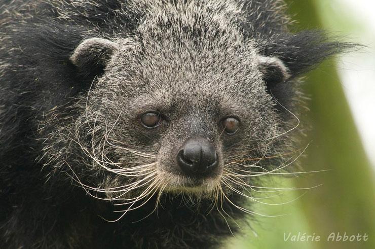 binturong fiche animaux asie mammifere