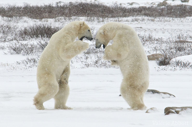 ours blanc polaire grand nord canada alaska banquise neige hiver