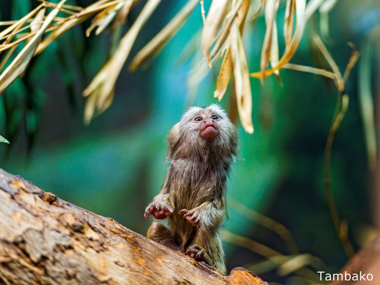 bebe ouistiti singe animaux mignons cute baby marmoset animals