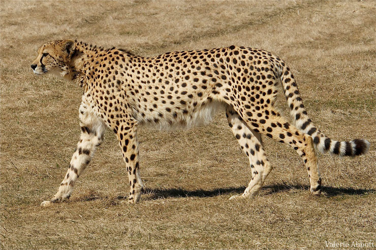 guepard afrique fiche animaux sauvages animal wild fact african cheetah