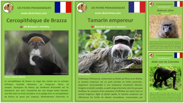fiches animaux singe primates à telecharger et a imprimer pdf download animal fact cercopitheque de brazza tamarin empereur babouin olive anubis atele noir de colombie monkey