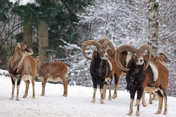mouflon animaux dans la neige montagne francaise corse alpes