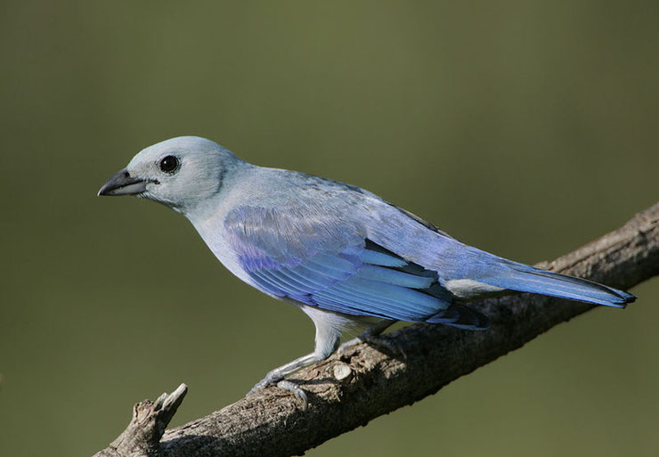tangara eveque fiche animaux oiseaux animal facts blue-gray tanager