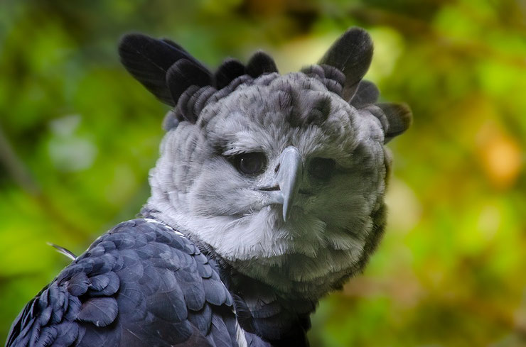 harpie feroce fiche oiseaux animaux harpy eagle animal bird facts