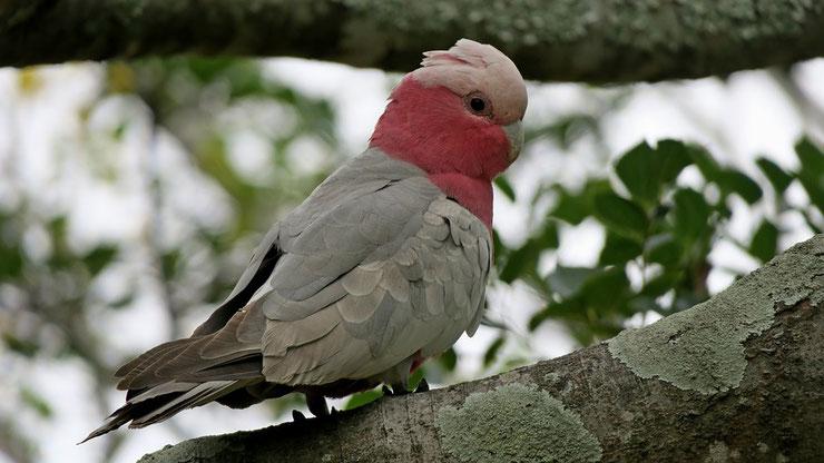 cacatoes rosalbin fiche oiseaux