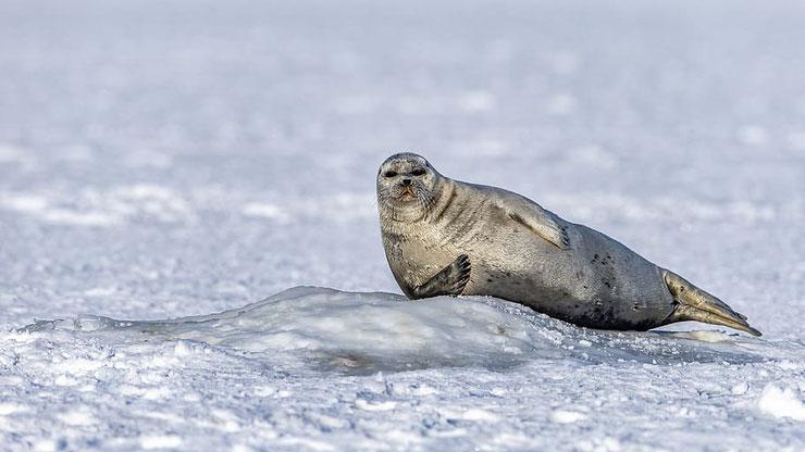 phoque dans la neige sur la banquiseanimaux marins