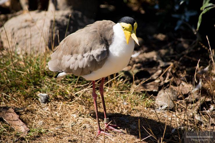 vanneau soldat oiseau bird animaux fiche identite