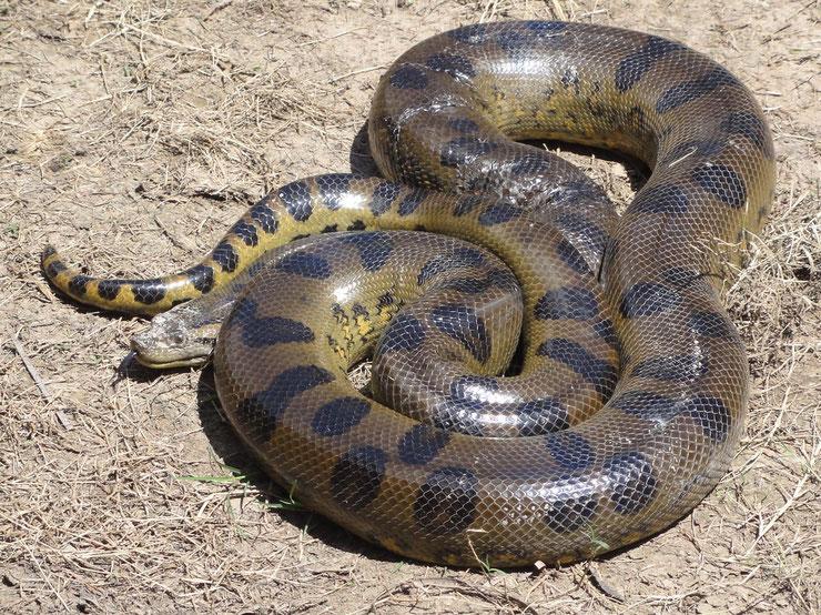 anaconda geant serpent fiche animaux taille poids distribution habitat alimentation reproduction