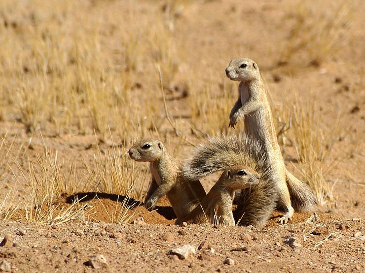 ecureuil fouisseur du cap taille poids habitat repartition alimentation longevite