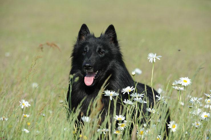 berger belge groenendael fiche animaux chien sante origine caractere