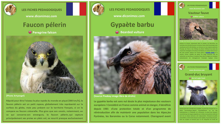 fiches animaux pedagogiques oiseaux rapaces à telecharger et a imprimer pdf download animal fact faucon pelerin gypaete barbu vautour fauve grand duc bruyant