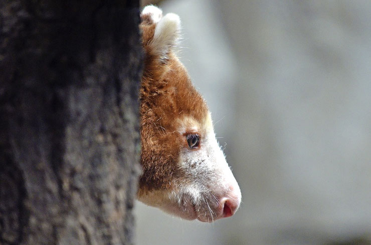 kangourou arboricole dendrolague fiche animaux