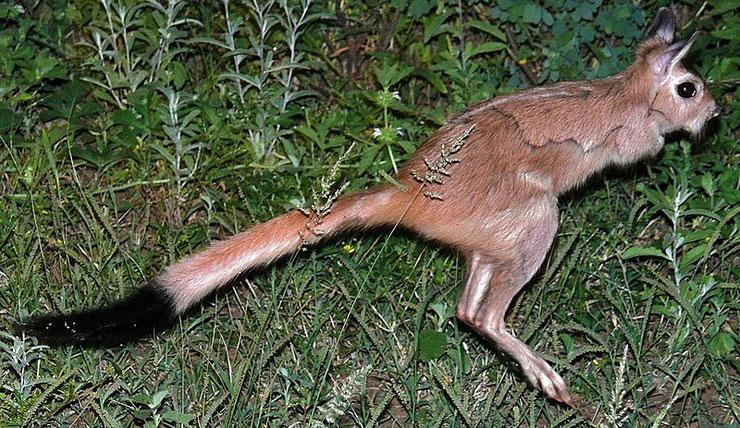 lievre sauteur d'afrique du sud spring hare pedete capensis fiche animaux cm1 cm2