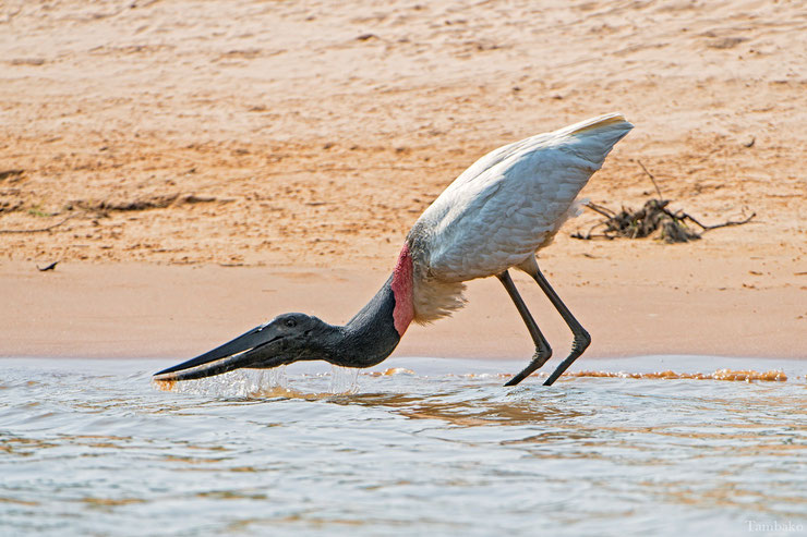 jabiru amerique eating