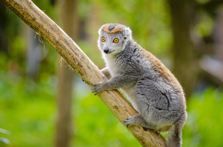 lemur couronne crowned lemur fiche animaux animal facts