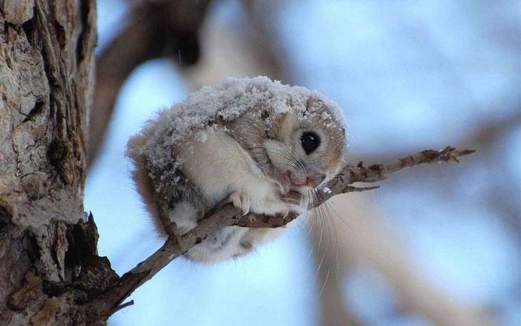 liste des animaux les plus mignons polatouche de siberie