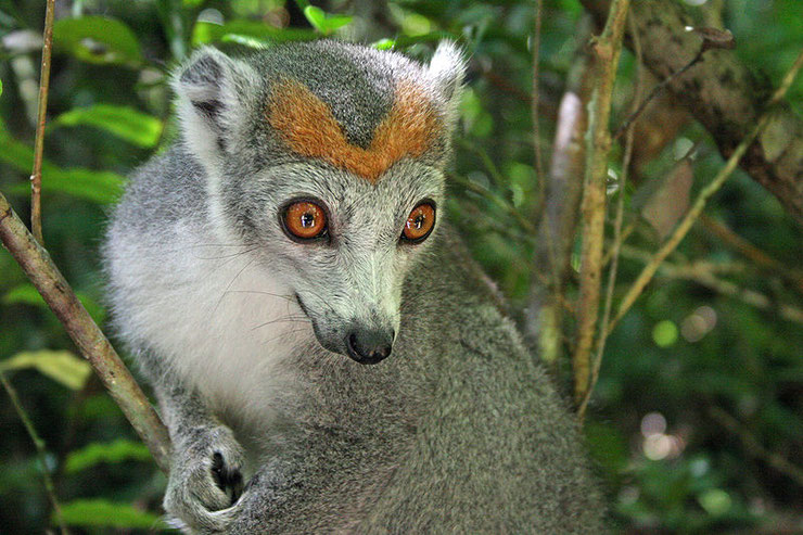 lemur couronne fiche animaux de madagascar