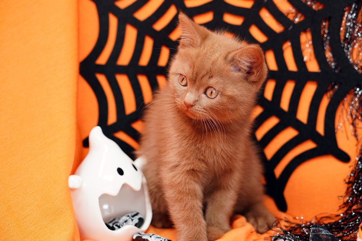 chaton kitten halloween