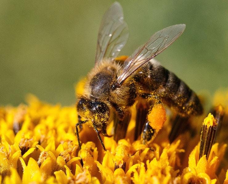 photo image abeille butinant une fleur et pollen