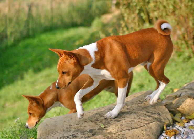 basenji fiche chien animaux origine caractere comportement race poil